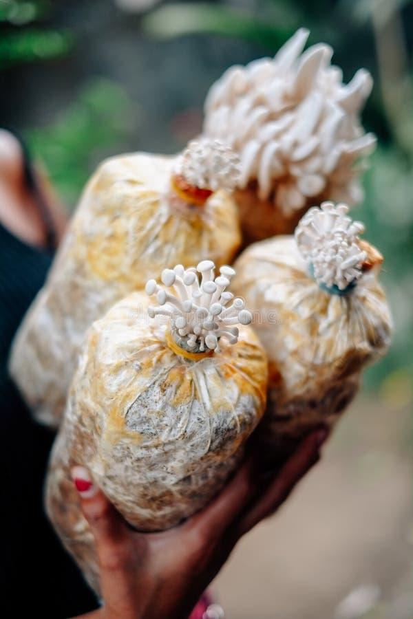 Champinjonodling som växer i lantgårdchampinjonodling i den nya champinjonen för organiska lantgårdar som växer på en special jor royaltyfri foto