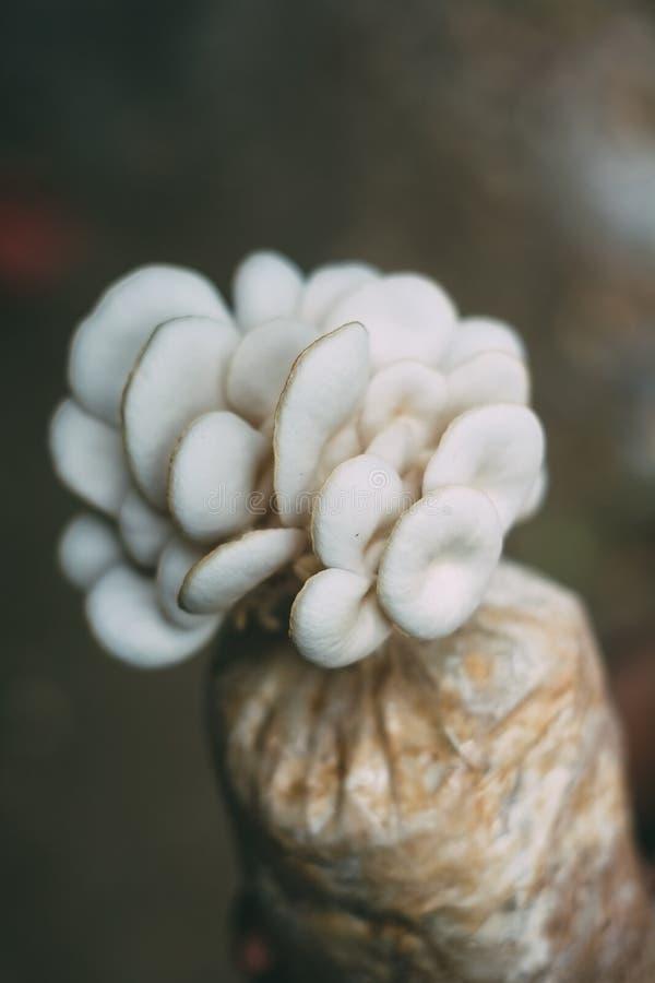 Champinjonodling som växer i lantgårdchampinjonodling i den nya champinjonen för organiska lantgårdar som växer på en special jor royaltyfri bild