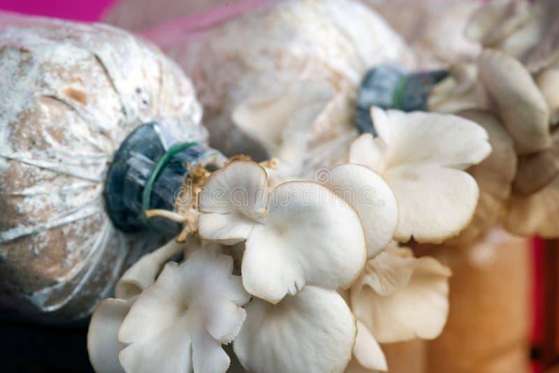 Champinjonodling som växer i organiska lantgårdar arkivbilder