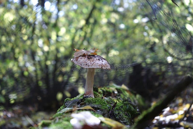 Champinjonsopp i höstskogen arkivbilder