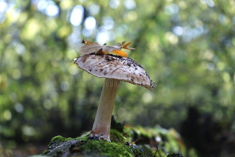 Champinjonsopp i höstskogen royaltyfria foton