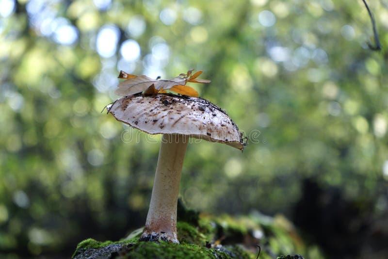 Champinjonsopp i höstskogen arkivfoto