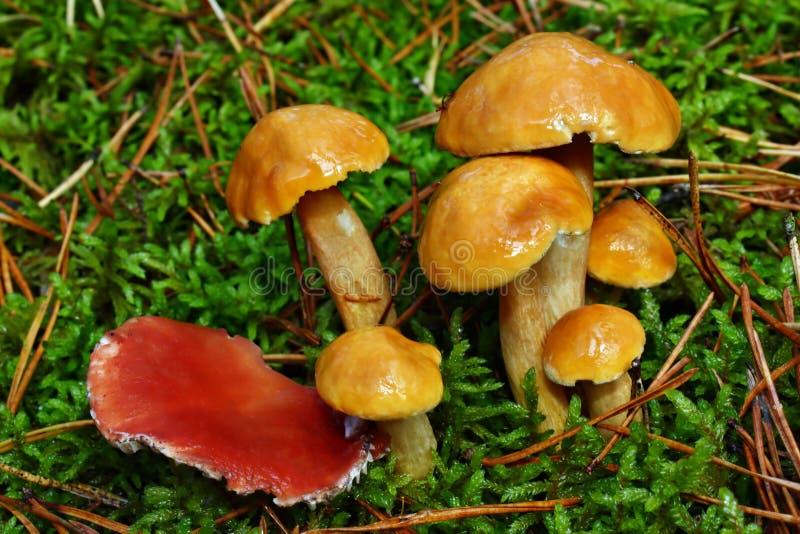 Champinjonsuillusbovinus och gomphidiusroseus arkivfoton