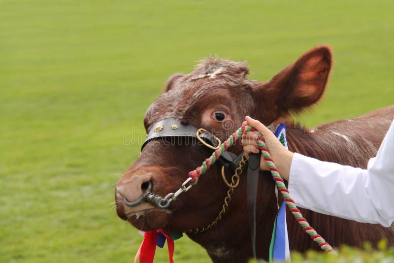 Farm Bull Animal. A Champion Beef Shorthorn Farm Bull Animal stock photography