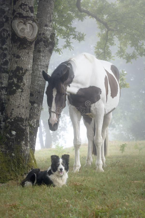 Portrait of a paint horse and a Border Collie dog in a foggy forest stock photos
