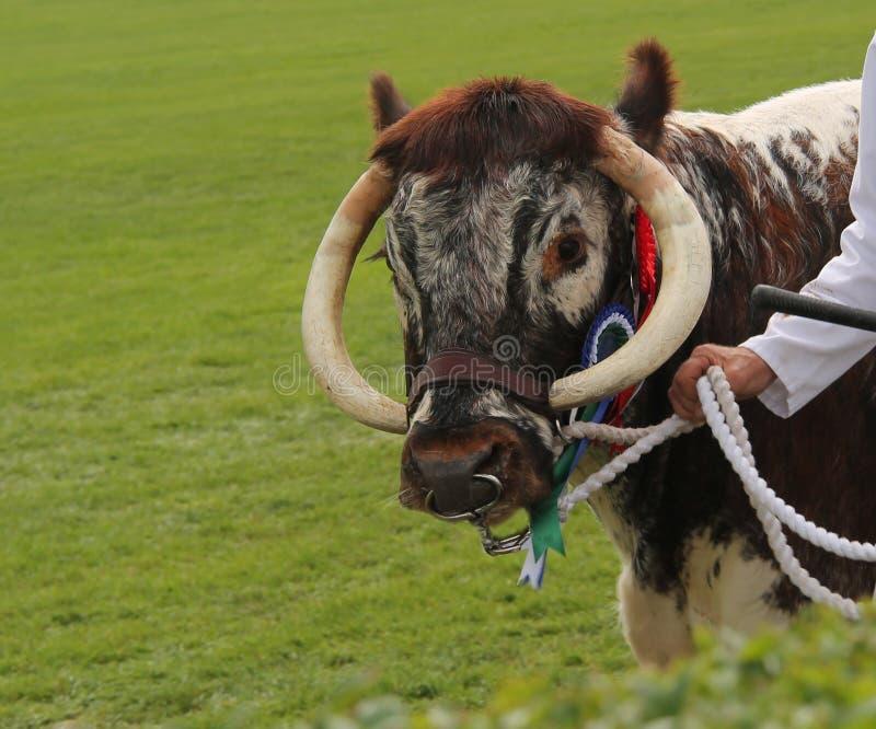 Champion Longhorn Beef Bull. A Champion Longhorn Beef Bull Farm Animal stock images