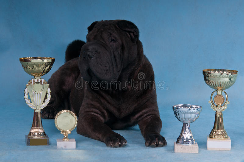 Download Champion Shar-Pei stock photo. Image of blue, proud, looking - 14841766