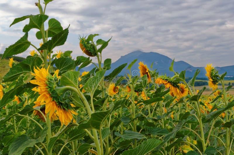 Champs avec le tournesol de floraison image stock