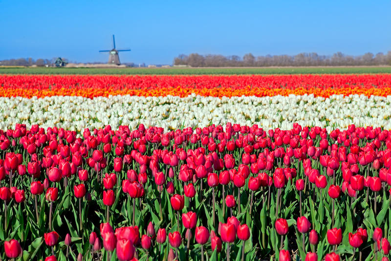 Champs colorés de tulipe et moulin à vent néerlandais images libres de droits