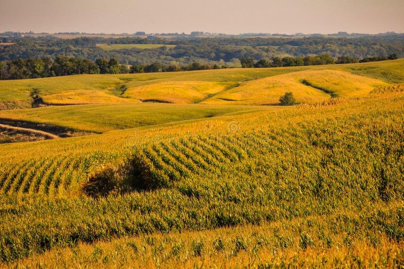 Champs d'or dans l'état de maïs de l'Iowa images libres de droits