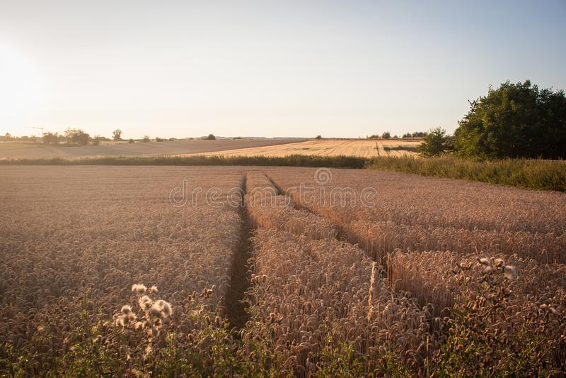 Champs de blé d'or au coucher du soleil photographie stock libre de droits