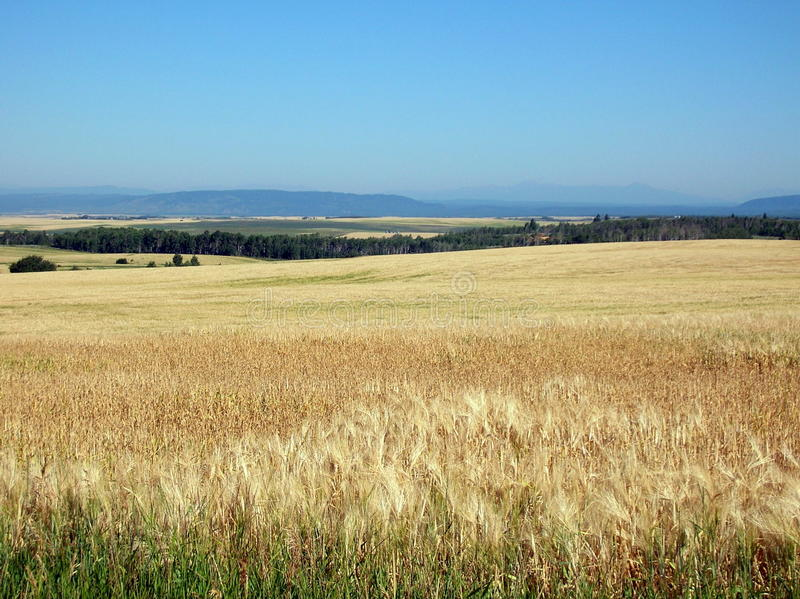 Champs de blé de l'Idaho photos libres de droits