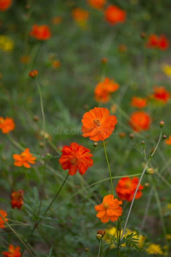 Champs de cosmos de soufre dans des couleurs oranges et jaunes image stock