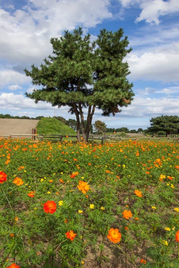 Champs de cosmos de soufre dans des couleurs oranges et jaunes dans Ibaraki, Japon photos stock