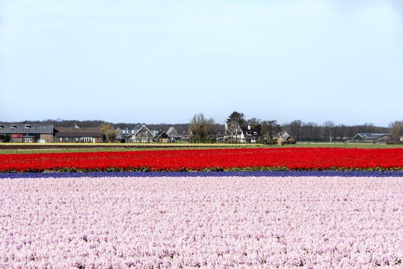 Champs de jacinthe et de tulipe photo libre de droits