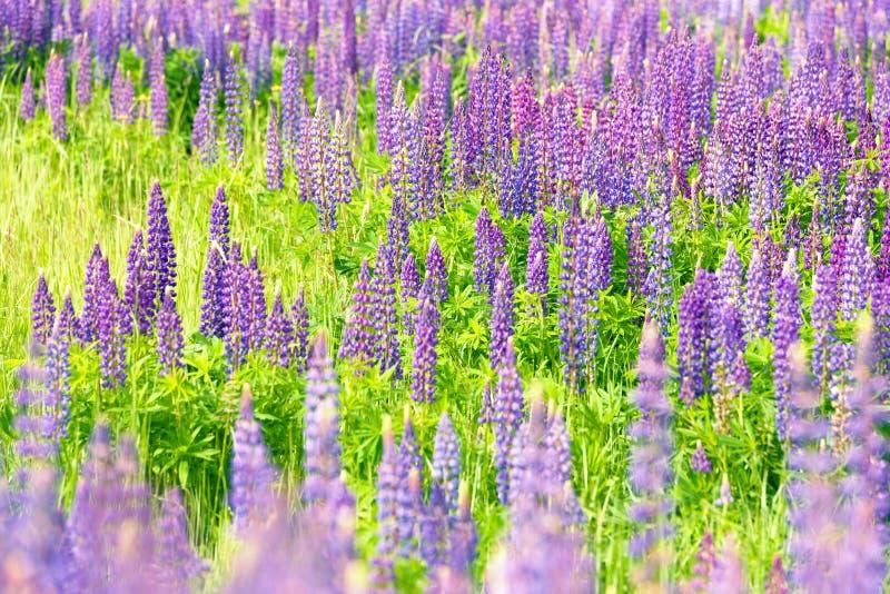 Champs de loup sauvage Belles fleurs pourpres en verts frais d'été photo stock
