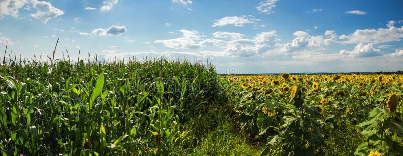 Champs de maïs et de tournesols images stock