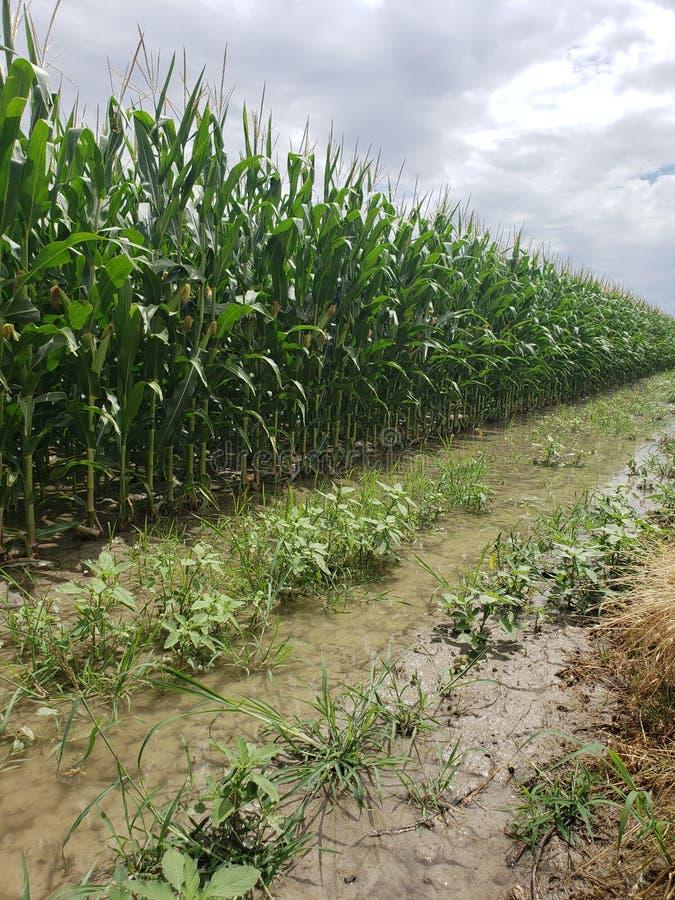 Champs de maïs de irrigation images libres de droits