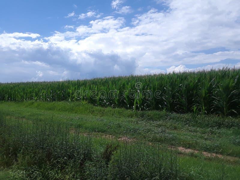 Champs de maïs sous un ciel nuageux bleu lumineux 2 photos libres de droits