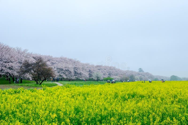 Champs de nanohana fleurissant jaune avec les fleurs de cerisier roses derrière : Parc de Gongendo dans Satte, Saitama, Japon images libres de droits
