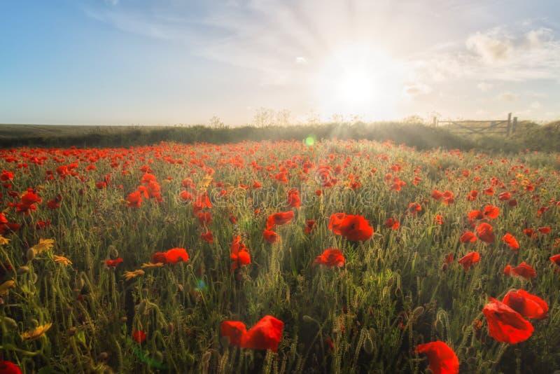Champs de pavot dans les Cornouailles R-U avec la lumière du soleil et les rayons de soleil photographie stock