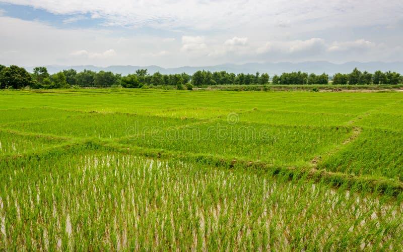 Champs de rizière dans Terai, Népal photographie stock libre de droits
