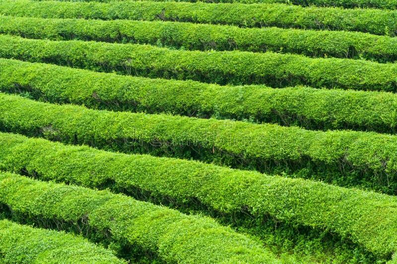Champs de thé de Boseong image stock