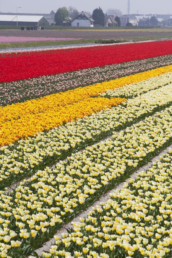 Champs de tulipe images stock