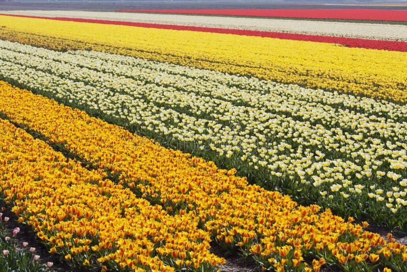 Champs de tulipe image stock