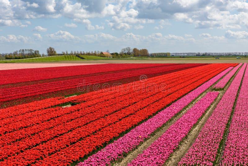 Champs de tulipe avec les tulipes rouges et roses photo libre de droits