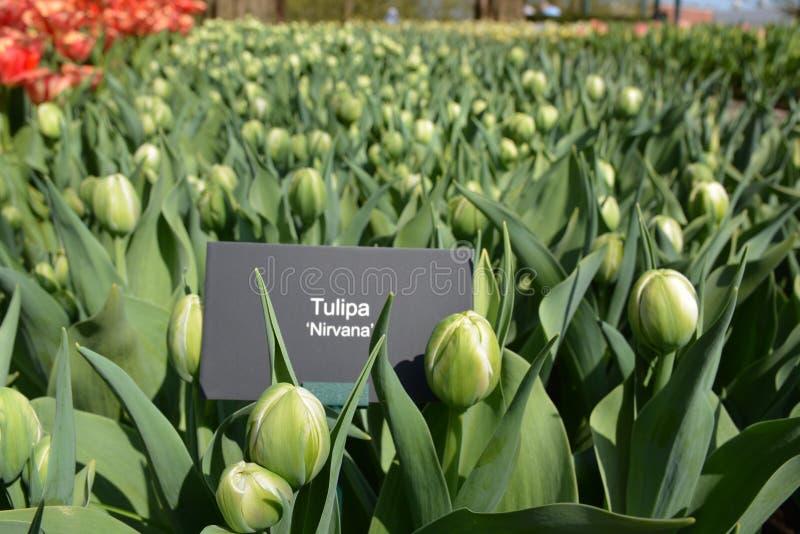 Champs de tulipes Nirvana vert de tulipes prêt à fleurir photo libre de droits