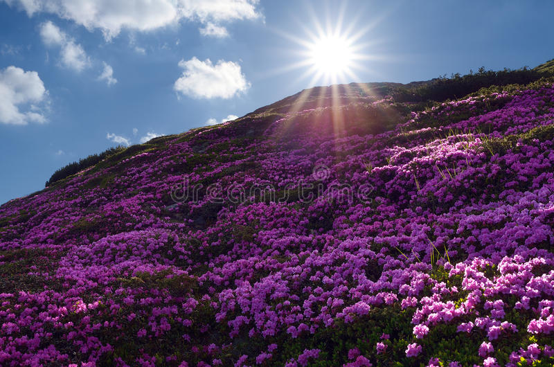 Champs des fleurs dans les montagnes photo stock