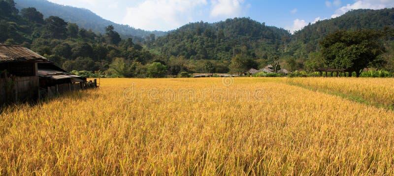Champs et riz jaune photo stock