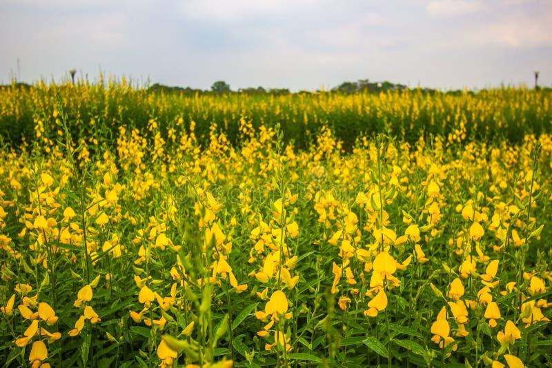 Champs jaunes de chanvre de junceasunn de Crotalaria avec le backbround de ciel bleu dans la province de Nakhon Pathom, Thaïlande images libres de droits