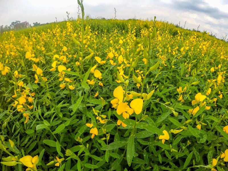 Champs jaunes de chanvre de junceasunn de Crotalaria avec le backbround de ciel bleu dans la province de Nakhon Pathom, Thaïlande photo stock