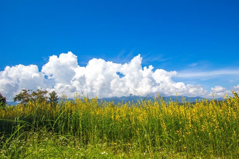 Champs jaunes de chanvre de junceasunn de Crotalaria et de beau ciel dans Pai, Mae Hong Son, Thaïlande du nord photo stock