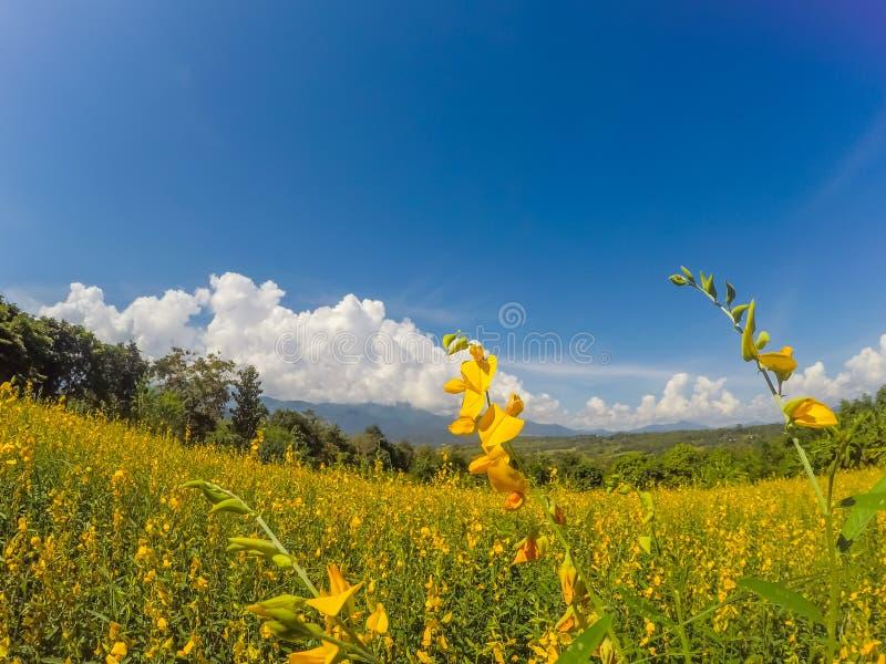 Champs jaunes de chanvre de junceasunn de Crotalaria et de beau ciel dans Pai, Mae Hong Son, Thaïlande du nord images libres de droits