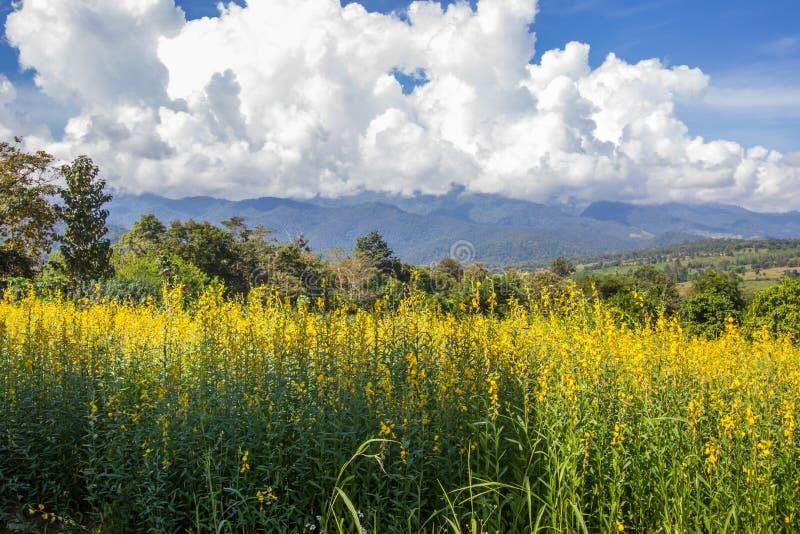 Champs jaunes de chanvre de junceasunn de Crotalaria et de beau ciel dans Pai, Mae Hong Son, Thaïlande du nord photographie stock libre de droits