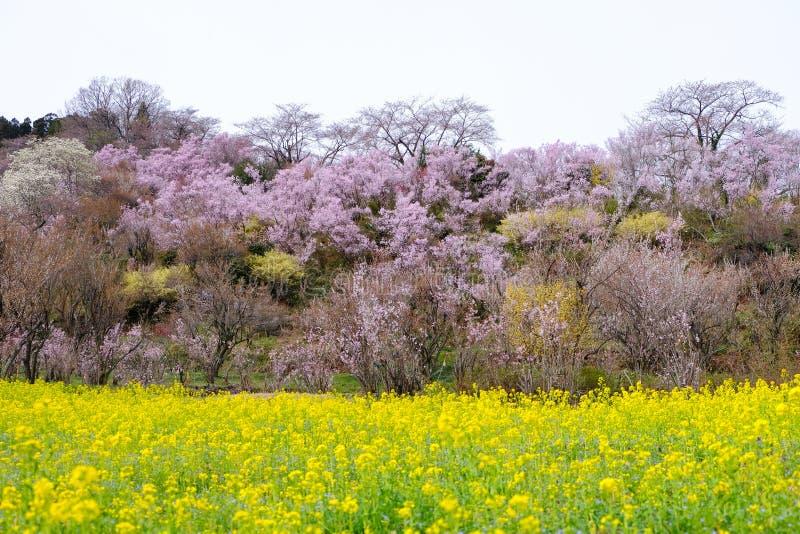 Champs jaunes de nanohana et arbres fleurissants couvrant le flanc de coteau, parc de Hanamiyama, Fukushima, Tohoku, Japon image libre de droits