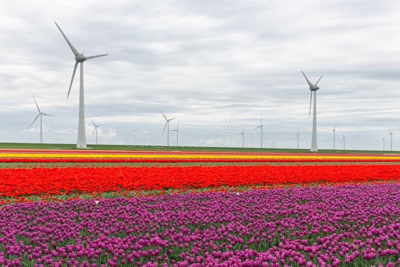 Champs néerlandais colorés de tulipe avec de grandes turbines de vent photographie stock libre de droits