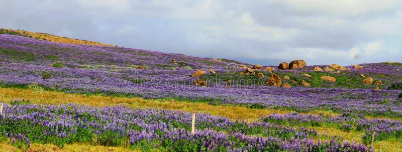 Champs pourpres de lupinus, montagnes islandaises, route 35 photo libre de droits