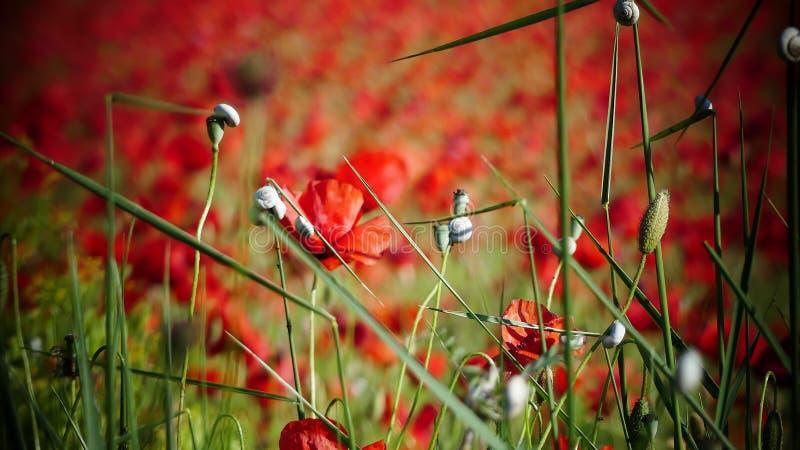 Champs rouges gentils avec un certains pavot et escargot photo stock
