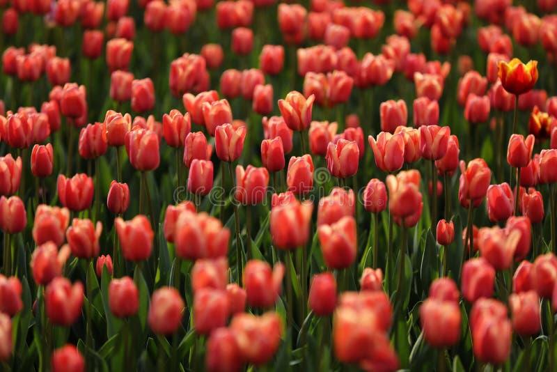 Champs sur lesquels les tulipes roses en fleur Champ Tulip Champ avec tulipes roses Bouquet de fleurs, fond rose image libre de droits