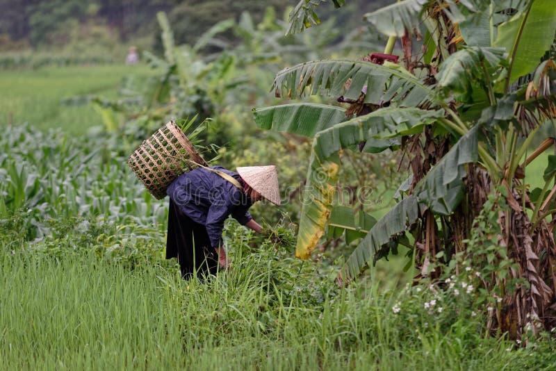 Champs travaillants de femme, vallée de PA de SA, Vietnam photos libres de droits
