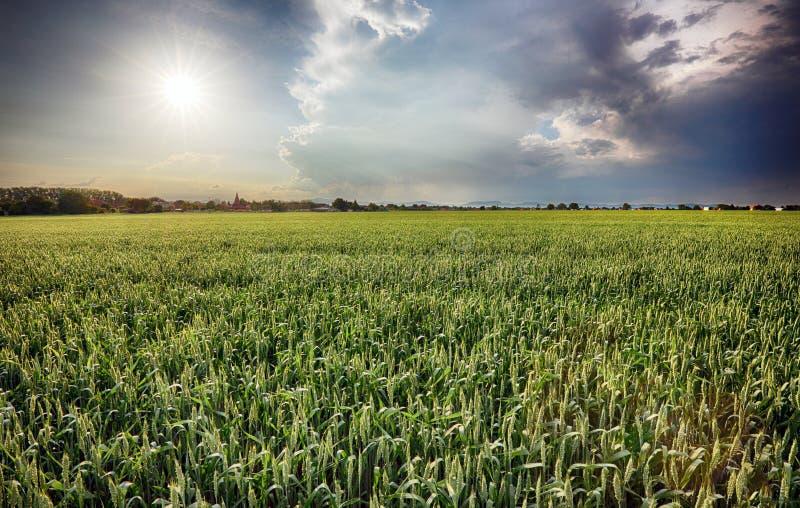 Champs verts de jeune blé un ressort photos libres de droits