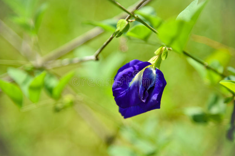 Chan kwiat fotografia stock