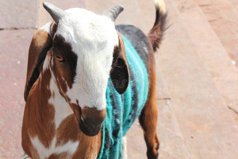 Chandail de port de chèvre mignonne photos libres de droits