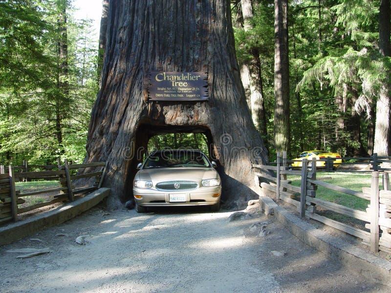 Chandler Tree na floresta da sequoia vermelha de Califórnia foto de stock