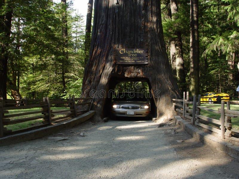 Chandler Tree na floresta da sequoia vermelha de Califórnia imagens de stock royalty free
