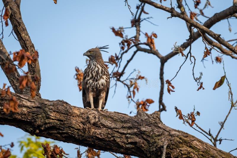 Changeable or crested hawk eagle nisaetus cirrhatus perched on sky background on a mahua tree at bandhavgarh. National park, madhya pradesh, india stock image